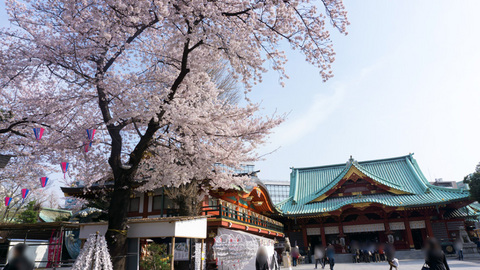 神田明神の桜も満開